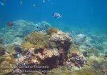 084_1f_Corals-SkunkAnemonefish_20150418_IMG_6870.jpg