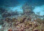 094_1h_Corals-Moorish-Idol_20150418_IMG_6897.jpg