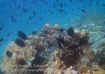 096_1h_White-Collar-Butterflyfish_20150418_IMG_6898.jpg