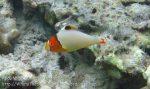 157_4bc_Bicolour-Parrotfish-Juvenile_20150415_IMG_6088.jpg