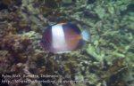172_4bc_Pyramid-Butterflyfish_20150415_IMG_6136.jpg