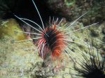 174_4bc_Clearfin-Lionfish_20150415_IMG_6109.jpg