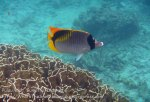 180_4bc_Lined-Butterflyfish_20150415_IMG_6156.jpg