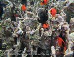 182_4bc_Tomato-Anemonefish-juvi_20150415_IMG_6162.jpg