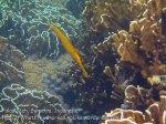 184_4bc_Golden-Trumpetfish_20150415_IMG_6163.jpg