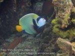 188_4bc_Emperor-Angelfish_20150415_IMG_6177.jpg