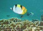 193_4bc_Saddleback-Butterflyfish_20150415_IMG_6194.jpg