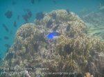 219_4d_BlueTang-RedtoothTriggerfish_20150415_IMG_6251.jpg