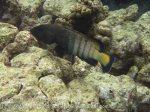 222_4d_Coral-Cod-aka-Peacock-Grouper_20150419_IMG_7190.jpg