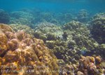 241_4f_Porites-Coral_20150416_IMG_6274.jpg
