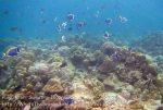274_5bc_Corals-PowderBlueSurgeonfish_20150419_IMG_7146.jpg