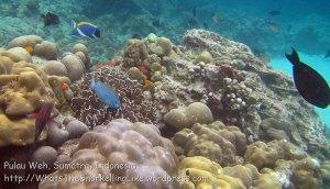 302_5de_Reef-n-Whitetail-Surgeonfish-Acanthurus-thompsoni_20150419_IMG_7133.jpg