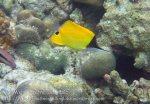 304_5de_Longnose-Butterflyfish_20150419_IMG_7125.jpg
