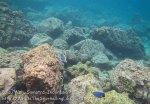 341_6c_Rocky-PowderBlueSurgeonfish_20150419_IMG_7079.jpg