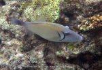 351_6de_Scythe-Triggerfish_20150419_IMG_7070.jpg