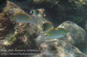 Indo_Weh_366_6ef_GoldsaddleRabbitfish-EasternTriangularButterflyfish_20150419_IMG_7046