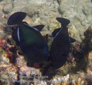 372_6f_Black-Triggerfish-Melichthys-niger_20150419_IMG_7043.jpg