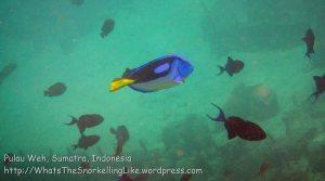 412_7b_BlueTang-RedtoothSurgeonfish_20150416_IMG_6285.jpg