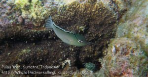 439_7fg_Smiths-Fangblenny-Meiacanthus-smithi_20150416_IMG_6339.jpg