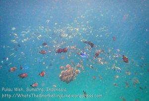 449_7g_WhiteCollaredButterflyfish-Melee1_20150416_IMG_6374.jpg