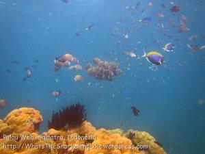 450_7g_WhiteCollaredButterflyfish-Melee2_20150416_IMG_6370.jpg