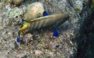 470_7i_Peacock-Grouper-AKA-Coral-Cod_20150416_IMG_6396.jpg