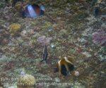 473_7i_Phantom-Bannerfish_20150416_IMG_6393.jpg