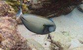 537_7jk_Blackstreak-Surgeonfish_20150417_IMG_6582.jpg