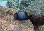 538_7jk_White-Freckled-Surgeonfish_20150417_IMG_6589.jpg