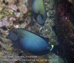 588_7l_Blackstreak-Surgeonfish_20150420_IMG_7451.jpg