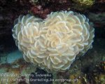 592_7l_Rounded-Bubblegum-Coral-Plerogyra-sinuosa_20150417_IMG_6631.jpg