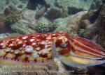 606_7m_Cuttlefish_20150417_IMG_6663.jpg