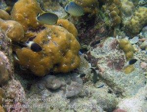 631_7mn_Spot-Banded-Butterflyfish_20150417_IMG_6721.jpg