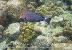 635_7mn_Yellowmask-Surgeonfish_20150417_IMG_6723.jpg