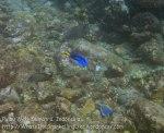 759_8h_ScribbledFilefish-BlueTang_20150420_IMG_7393.jpg