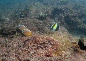 Indo_Bali_049_Padangbai_Moorish-Idols-Redfin-Butterflyfish-Rockmover-Wrasse_20160808_P8080022