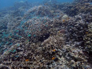 Indo_Bali_129_Jemeluk-3d_Deeper-Coral-Chromis-Fish_20160810_P8100399.jpg