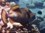 Indo_Bali_140_Jemeluk-3e_Titan-Triggerfish_20160810_P8100367.jpg
