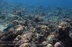 Indo_Bali_143_Jemeluk-3f_Coral-Parrotfish-Lattice-Butterflyfish_20160810_P8100385
