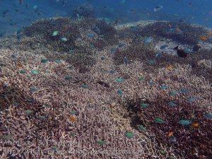 Indo_Bali_316_East-Lipa-7c_Acropra-Coral-n-Blue-Green-Chromis-n-Flagtail-Grouper_20160810_P8100314