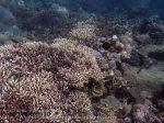 Indo_Bali_325_East-Lipa-7d_Coral-Virgate-Rabbitfish_20160810_P8100310.jpg