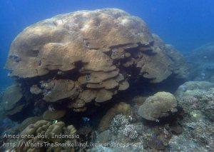 Indo_Bali_426_Selang-9c_Coral-Emperor-Angelfish_20160809_P8090198.jpg