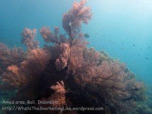 Indo_Bali_491_Banyuning-SE-11a_SeaFan_20160810_P8100244.jpg