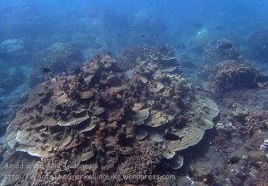 Indo_Bali_502_Banyuning-SE-11c_Coral_20160809_P8090146.jpg