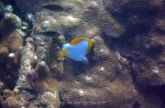 Indo_Bali_547_Aas-12d_Pyramid-Butterflyfish_20160809_P8090124.jpg