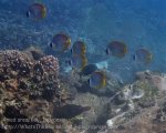 Indo_Bali_548_Aas-12d_Panda-Butterflyfish_20160809_P8090116.jpg