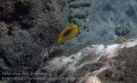 Indo_Bali_558_Aas-12e_Oval-spot-butterflyfish_20160809_P8090109.jpg