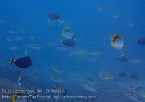 Indo_Lembongan_095_L01cd_Reed-Fishes_20160629_P6290272.jpg