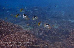Indo_Lembongan_097_L01cd_Corals_20160629_P6290276.jpg