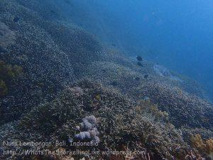 Indo_Lembongan_106_L01cd_Corals_20160629_P6290291.jpg